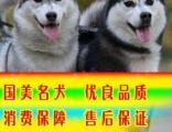 常年出售纯种健康精品哈士奇犬专业缔造完美品质签协议