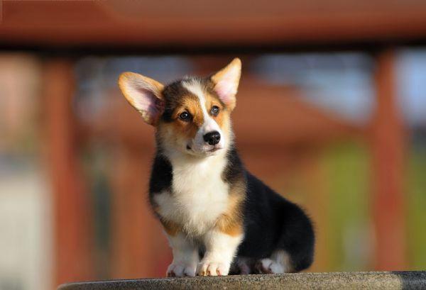 贵阳本地犬舍出售纯种柯基幼犬质保三年签署协议