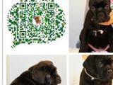 卡斯罗  保证 纯种健康 CKU国际认证犬舍