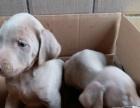 处理一批威玛成年犬和幼犬