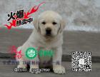 七夕活动大礼包 优惠中~ 出售纯种的聪明的拉布拉多幼犬品相好