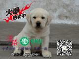 顶级繁殖基地出售纯种拉布拉多幼犬 神犬小七拉多