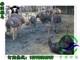 非洲鸵鸟苗厂家 非洲鸵鸟苗公司