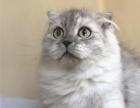 苏格兰折耳猫 银渐层长毛折耳弟弟CFA血统