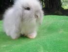 超级萌的纯种荷兰垂耳兔 侏儒兔 猫猫兔