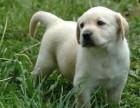 繁殖基地出售大中小型宠物犬,正规专业,品种齐全