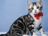 美短猫纯种猫咪活体宠物猫美短加白起司猫虎