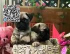 哪里出售巴哥犬 纯种巴哥犬多少钱