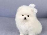 上海出售博美袖珍茶杯犬哈多利球型犬博美幼犬纯种博美俊介宠物狗