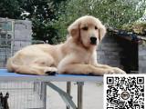 纯正健康金毛犬出售-幼犬出售,当地可以上门挑选