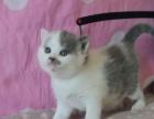 自家小母猫接受预定啦#英国短毛猫##苏格兰折耳猫#
