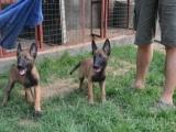 正规狗场买马犬幼犬,保健康纯种,免费送货