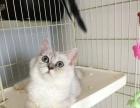 金吉拉猫1300 猫咪价格以标题价格为准猫