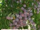 哪里有嫁接脆红李果树苗,汶川出售脆红李嫁接苗,宜宾红脆李树苗