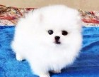 长期繁殖可爱博美俊介犬 各类纯种名犬 包活签协议