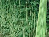 大量供应 油白超长豆角 长65-70厘米左右