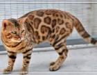 可见父母 质保无忧 售后完善 出售纯种 孟加拉豹猫 随时联系