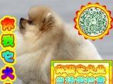 出售纯种健康 博美 狗狗,全国各地欢迎上门挑选