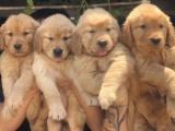 南京出售 纯种金毛犬 活签协议丨疫苗驱虫做完丨送用品