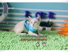 温州买猫 蓝眼睛蓝重点色暹罗猫 最聪明的喵星人 包纯种健康