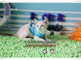 齐齐哈尔买猫 蓝眼睛蓝重点色暹罗猫 最聪明的喵星人 纯种健康