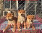 郑州哪里有秋田犬出售 纯种秋田犬价格多少 秋田犬图片