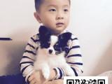 蝴蝶犬纯正健康出售-幼犬出售,当地可以上门挑选