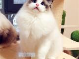 重庆江津纯血布偶幼猫价钱