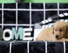 中山市哪里有宠物狗卖大头金毛 黄金巡回猎犬金毛狗包健康