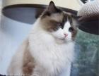 纯种布偶猫活体 蓝双海豹色布偶猫幼猫宠物猫