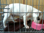 自家大狗生了一窝牛头梗可以上门看狗父母