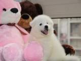 正规犬舍出售萨摩耶幼犬包健康签协议送用品