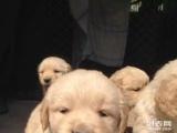 免費贈送我家的一窩小金毛寶寶,愛狗者免費領養