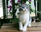 CFA英短渐层 蓝猫蓝白 美短虎斑 起司加白