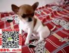 郑州地区长期繁殖出售纯种吉娃娃幼犬纯种吉娃娃包健康出售