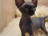 出售买斯芬克斯猫 纯种斯芬克斯猫大眼睛可爱萌 健康有保障
