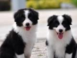 出售邊牧幼犬 智商排行  非常優秀的家庭伴侶犬