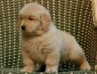 兰州犬舍出售精品金毛犬一血统纯正一纯种健康