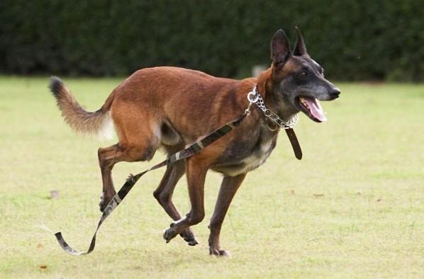 马犬三个月幼犬品相好 包健康包纯种