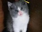 家养蓝猫生幼崽转让
