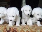 纯种健康的古代牧羊犬幼犬全国送货上门