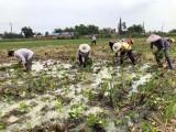 澤瀉種苗 基地直發 650元一畝 約7000株苗