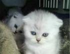 纯自己家养殖的可爱猫咪出售啦