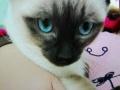 宠物猫暹罗猫