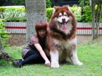 巨型熊版赛级高品质阿拉斯加犬颜色齐全疫苗驱虫已做保