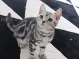 家庭繁育,三个月的虎斑宝宝出售中