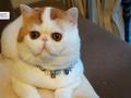 3个月加菲猫弟弟妹妹找新家