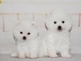 济南 纯种博美幼犬 疫苗齐全出售中 可签协议健康保障
