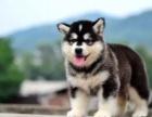 上海纯种阿拉斯加幼犬出售 大骨架 黑红都有哦可上门挑选