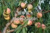 映霜红桃苗批发在哪能买到价位合理的映霜红桃苗